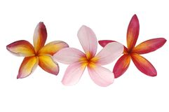 Three tropical plumeria Royalty Free Stock Photos