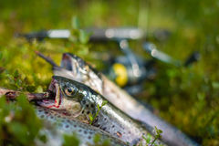 Three trout Stock Photos