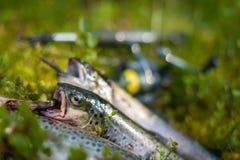 Three trout Stock Photos