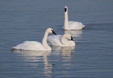 Three trumpter swans and blue water Stock Image