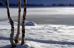 Three trunks of birch trees in snow Royalty Free Stock Images