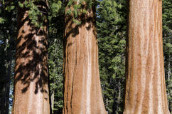 Three trunks of Sequoia Stock Photos