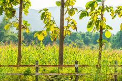 Three trunks of teak tree nearby maize fields in Thailand, Southeast Asia Stock Photo