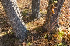 Three Trunks Of Tree In Autumn. Stock Images