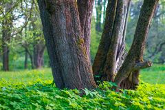 Three trunks of trees among green grass on meadow at spring evening. Landscape with smooth bokeh, soft background and warm colors. Bunches small tiny white royalty free stock photography