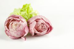Three tufts of pink and green chicory  on white backgrou. Three tufts of fresh pink and green chicory  on white background, copy space Royalty Free Stock Photography
