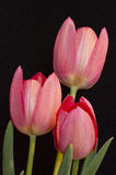 Three tuilips. Three red tulips all in focus on black background Stock Images