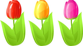 Three tulip royalty free stock photo