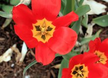 Center of three open tulip flowers all red. Three tulip centers opened in a garden. Three red flowers With the stems and leaves showing. With some blank space stock photography