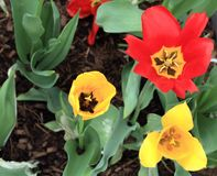 Center of three open tulip flowers yellow and red. Three tulip centers opened in a garden. two yellow and one red. With the stems and leaves showing. With some royalty free stock image