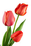 Three tulip Stock Image