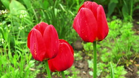 Three tulip in the garden. HD stock video