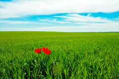Three Tulip. One Tulip in the field Royalty Free Stock Photo