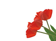 Three Tulip Royalty Free Stock Photos
