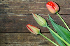 Three tulip unblown flower on a wooden background Royalty Free Stock Images