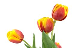 Three tulips. Three red-yellow tulips isolated on white background stock photography