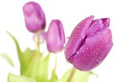 Three Tulips Royalty Free Stock Photo