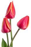 Three tulips Stock Images