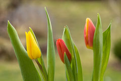 Three tulips Stock Image