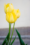 Three tulips. Three yellow tulips clustered together on neutral background for text Royalty Free Stock Images