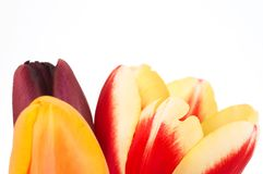 Three tulips. Colorful tulips on white, space for messages Royalty Free Stock Photography