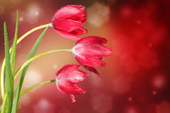 Three tulips. On the abstract background with bokeh Royalty Free Stock Images