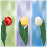 Three tulips banner Stock Image