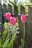 Three tulips Royalty Free Stock Photos