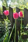 Three tulips Stock Photos