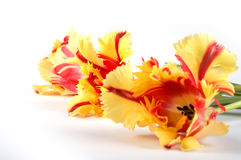 Three tulips blossom out in perspective Stock Photography
