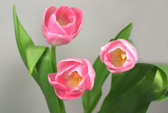 Three tulips bouquet. Three nice blossomed tulips in spring Royalty Free Stock Photos