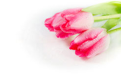 Three tulips with drops of dew Royalty Free Stock Photography