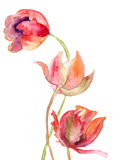 Three Tulips flowers. Watercolor painting Royalty Free Stock Images