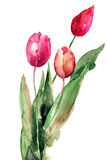 Three Tulips flowers. Watercolor illustration Stock Images