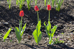 Three tulips. Royalty Free Stock Photo