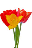 Three tulips Stock Photo