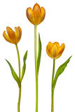 Three tulips isolated on white Stock Photography