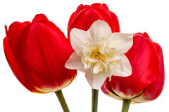 Three tulips and narcissus Royalty Free Stock Images