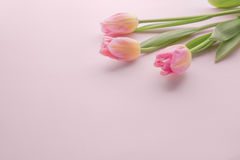 Three tulips on a pink background. Greeting card. Stock Photo