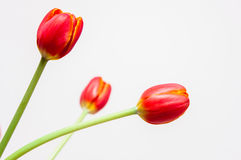 Three Tulips Royalty Free Stock Images