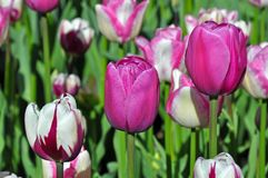 Three tulips in a row stock photography