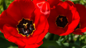 Three Tulips. Shot from top royalty free stock images