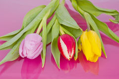 Three Tulips on violet background Royalty Free Stock Image
