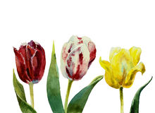 Three tulips watercolor. Three tulips red, white and yellow botany illustration  on white background original watercolor Stock Photos