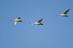 Three Tundra Swans Flying in a Blue Sky Stock Photos