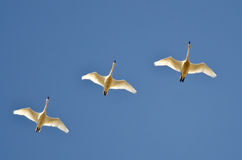 Three Tundra Swans Flying in a Blue Sky Royalty Free Stock Photography