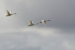 Three Tundra Swans Flying in a Cloudy Sky Royalty Free Stock Photography