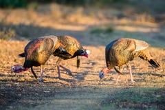 Three Turkeys Stock Images