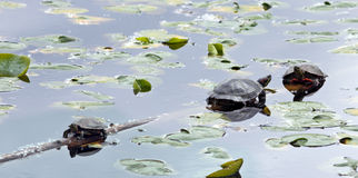 Three Turtles Stock Images