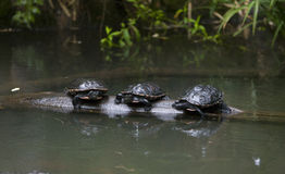 Three turtles. Sitting on a log adrift in a river royalty free stock photo